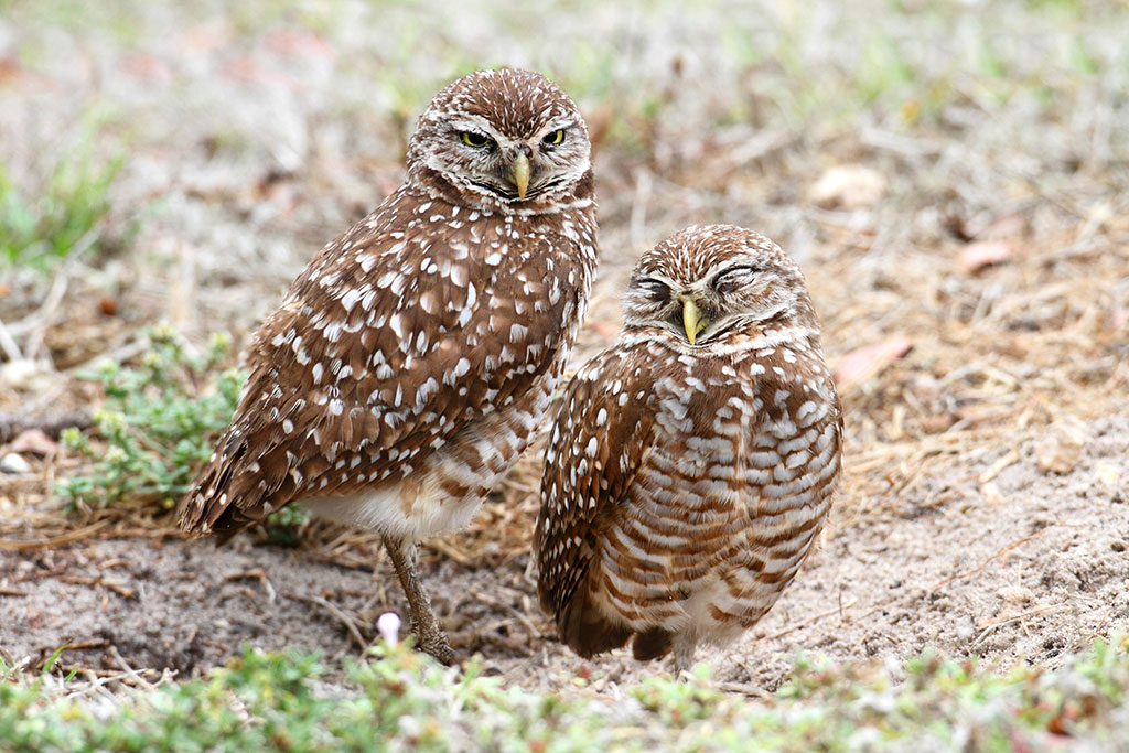 Burrowing Owls by a nest hole in the Florida Everglades